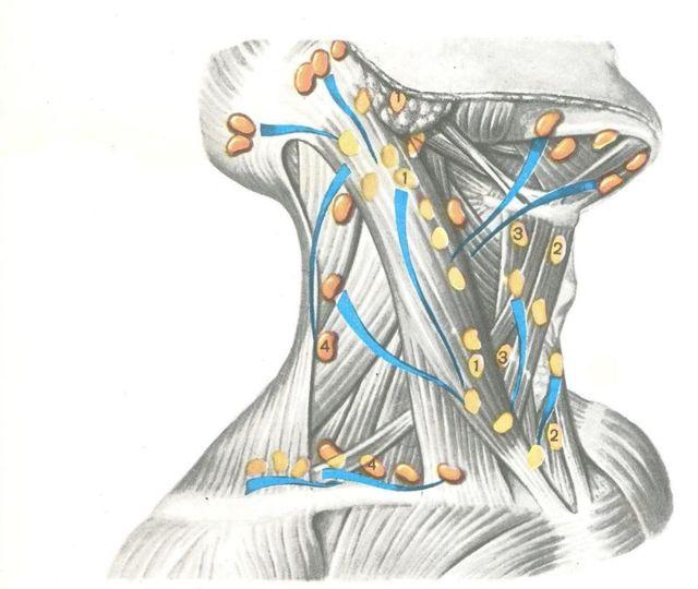 Где находятся лимфоузлы у человека фото, где находятся лимфатические узлы
