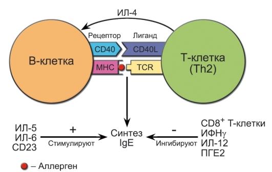 Иммуноглобулин Е общий (ige): что показывает, норма ige у взрослых и детей