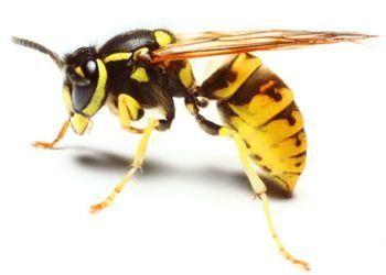 Укус осы: опухоль и покраснение. Что делать?